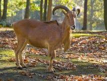 The Barbary Sheep Royalty Free Stock Photo