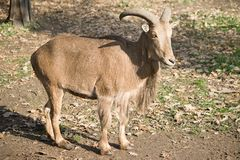 The Barbary Sheep Stock Photo