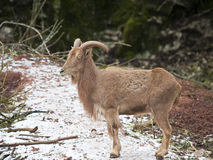 Barbary Sheep Royalty Free Stock Photography