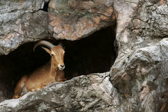 Barbary sheep. A young barbary sheep laying in front of the cave, North-africa Stock Photos