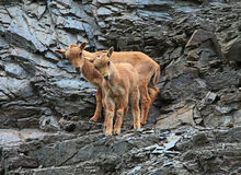 Barbary sheep Stock Photography