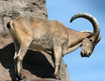 Barbary Sheep. A barbary sheep standing on a rock Royalty Free Stock Photo