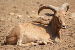 Barbary sheep. Sit on the land Royalty Free Stock Photography