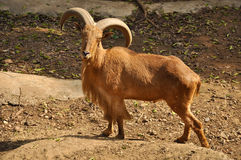 Barbary Sheep. Are excellent, sure-footed jumpers and climbers Royalty Free Stock Photography