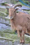Barbary sheep Stock Photography