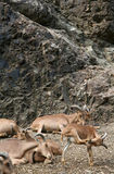 Barbary sheep. In the canyon in Prague zoo Royalty Free Stock Images