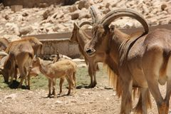 Free Barbary Sheep Royalty Free Stock Images - 76597839