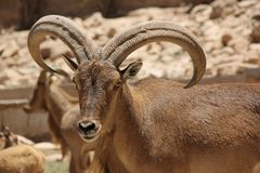Free Barbary Sheep Royalty Free Stock Images - 76600979