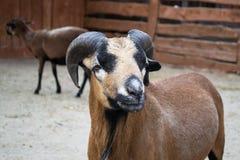 Barbary sheep - Africa Royalty Free Stock Image