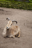 Barbary sheep, Ammotragus lervia Stock Images