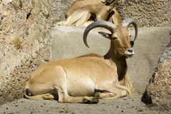 Barbary sheep (Ammotragus lervia) Royalty Free Stock Images