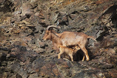Barbary sheep (Ammotragus lervia) Royalty Free Stock Photography