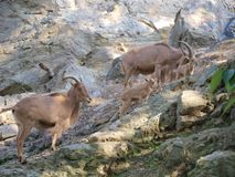 Barbary sheep ( Ammotragus lervia ). Czech Republic stock image