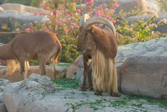 Barbary sheep & x28;Ammotragus lervia& x29; Royalty Free Stock Photos
