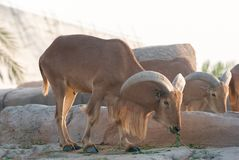 Barbary sheep & x28;Ammotragus lervia& x29; Royalty Free Stock Image