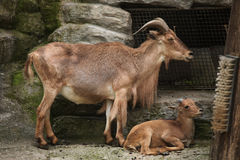 Barbary sheep (Ammotragus lervia). Royalty Free Stock Photo