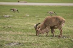 Barbary sheep (Ammotragus lervia) Royalty Free Stock Photos