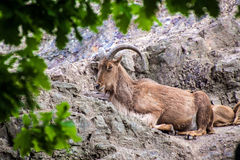 Barbary sheep Stock Image