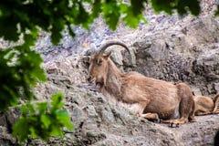 Barbary sheep Stock Image