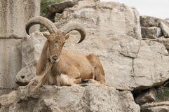 Barbary sheep (Ammotragus lervia) Royalty Free Stock Images