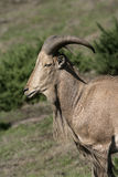Barbary sheep, Ammotragus lervia Royalty Free Stock Images