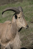 Barbary sheep, Ammotragus lervia Royalty Free Stock Photography