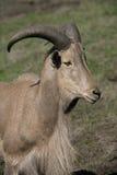 Barbary sheep, Ammotragus lervia. Single mammal head shot royalty free stock photography