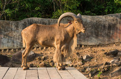 Barbary sheep (Ammotragus lervia) Royalty Free Stock Photo