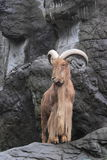 Barbary sheep Royalty Free Stock Photos