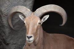 Barbary sheep Ammotragus lervia. Stock Photography