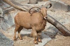 Barbary sheep (Ammotragus lervia). Stock Image