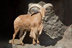 Barbary sheep & x28;Ammotragus lervia& x29;. Royalty Free Stock Photos