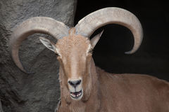 Barbary sheep Ammotragus lervia. Wild life animal stock image