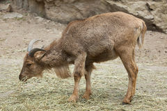 Barbary sheep (Ammotragus lervia). Royalty Free Stock Image