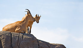 Barbary Sheep (Aoudad) Royalty Free Stock Photos