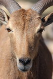Barbary Sheep, Aoudad Royalty Free Stock Photography