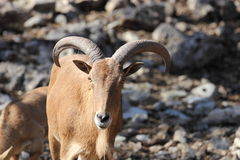 Barbary Sheep, Aoudad Royalty Free Stock Image