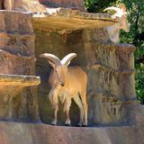 Barbary Sheep on Artificial Cliff Face Royalty Free Stock Images