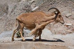 Barbary sheep Royalty Free Stock Photo