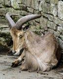 Barbary Sheep in captivity stock photo