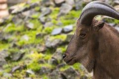 Barbary sheep closeup portrait Royalty Free Stock Photos