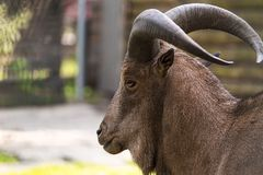 Barbary sheep closeup portrait Royalty Free Stock Photos