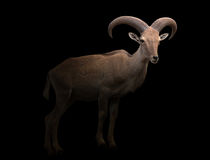 Barbary sheep in the dark. Female barbary sheep standing in the dark royalty free stock photos