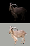Barbary sheep in the dark Royalty Free Stock Images
