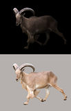 Barbary sheep in the dark. And barbary sheep isolated royalty free stock photos