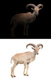Barbary sheep in the dark. And barbary sheep isolated stock photography