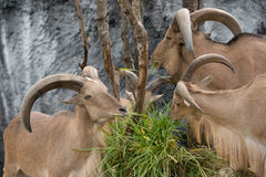 Barbary sheep eating green grass Stock Photography