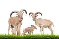 Barbary sheep family Stock Images