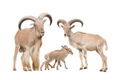 Barbary sheep family. Isolated on white background royalty free stock images
