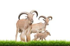 Barbary sheep family Royalty Free Stock Images